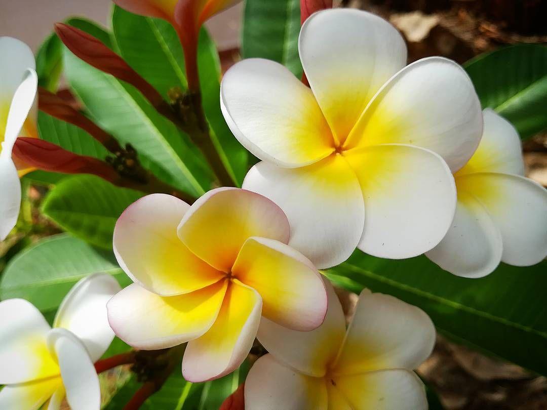 Everything about plumeria flower flower small trees and flowers everything about plumeria flower izmirmasajfo