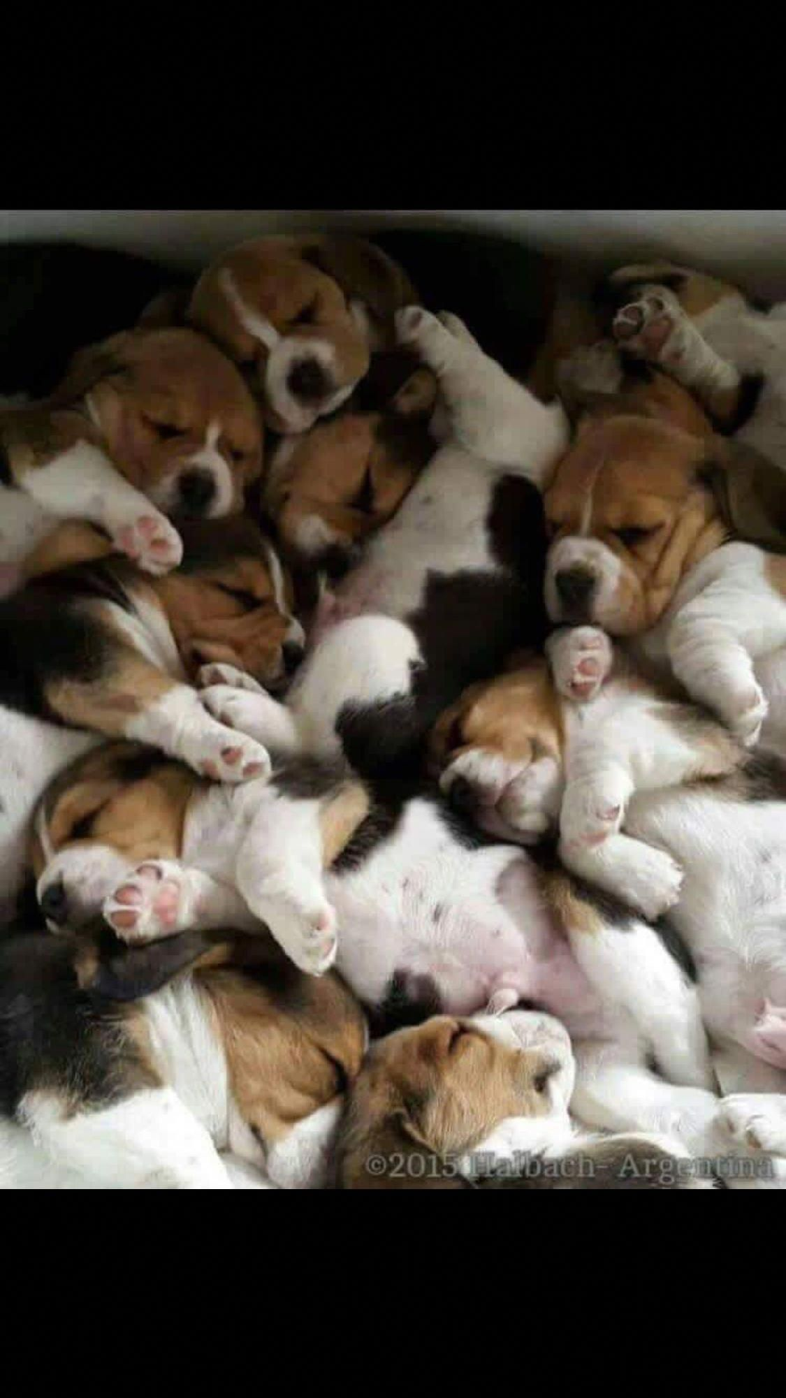 This Is What I Think Heaven Must Be Cute Beagles Beagle