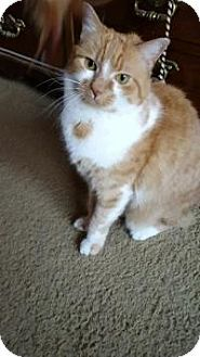 Manchester Ct Domestic Shorthair Meet Honey A Cat For Adoption Cat Adoption Pet Adoption Pets