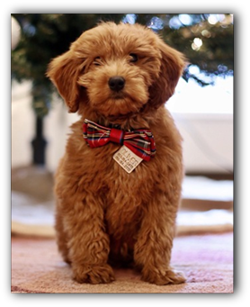 Mini Toy Goldendoodle Puppies For Sale In Illinois Apricot Goldendoodle Puppies Mini Goldendoodle Puppies Goldendoodle Puppy For Sale Mini Goldendoodle