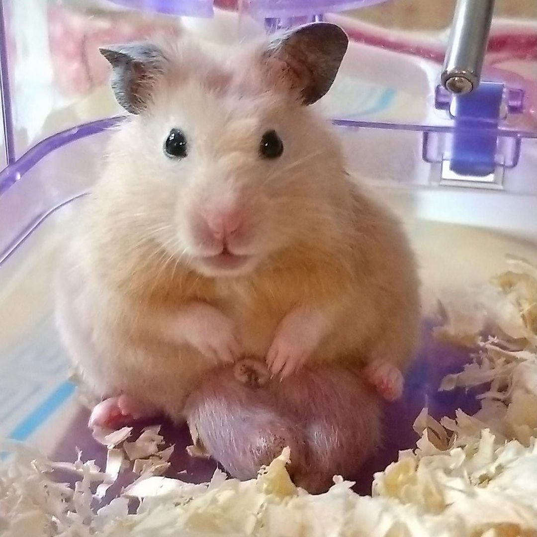 Why do hamsters attacks people? Because they got huge