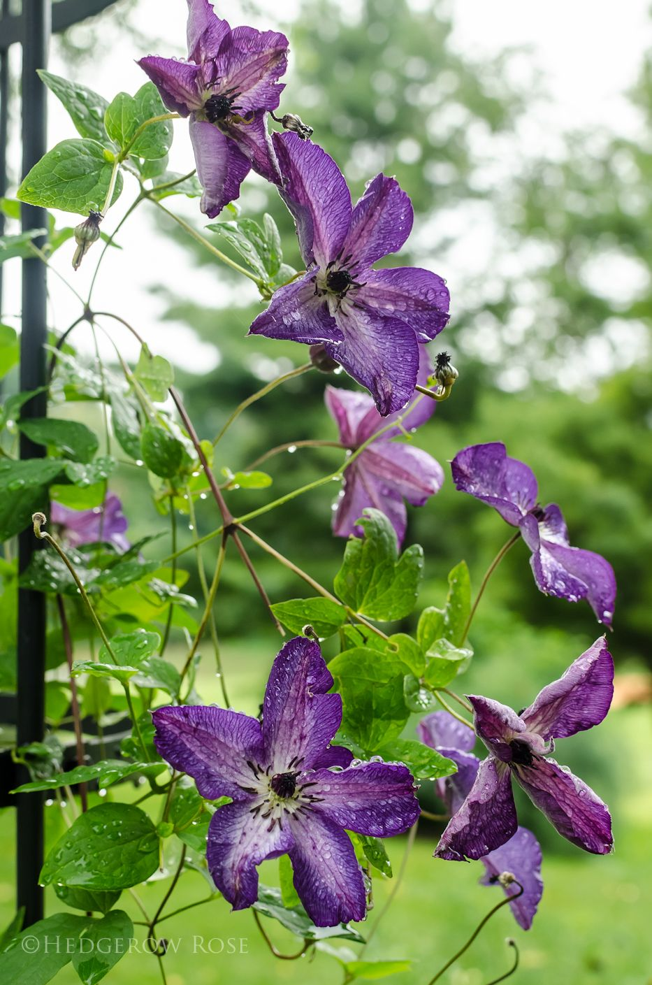 Clematis Venosa Violacea. Group 3, H 810', zone 3b 9a
