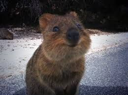 Image Result For Quokas Animals And The Rest Pinterest Animal - 29 adorable animals that will put a smile on your face