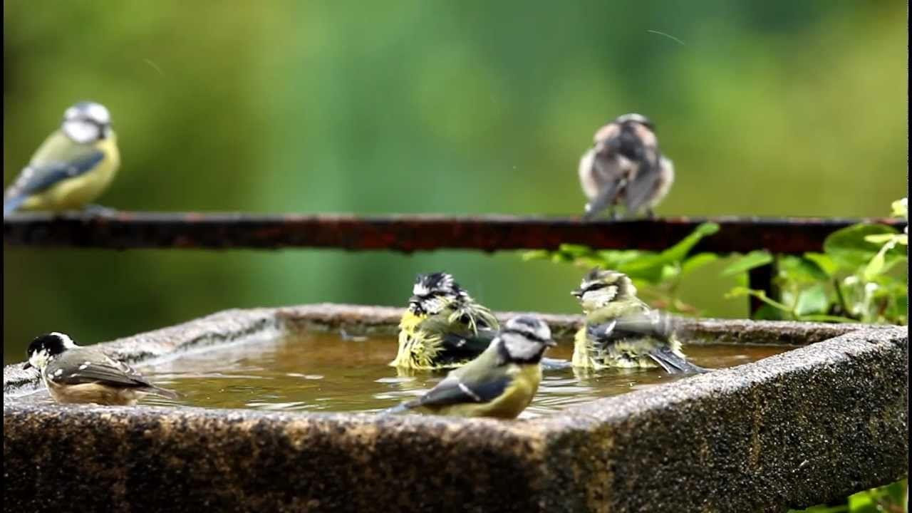 Bedlam in the Bird Bath