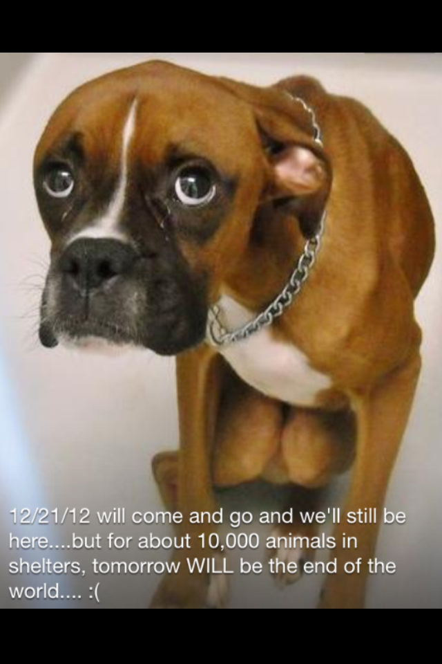 Looks like my latest rescued dog, Max. He was dropped off at my barn, he had bite marks and was so starved, his bones were sticking out.  Now he's a very happy and handsome Boxer :-)  Please keep sharing & help save a life ♥