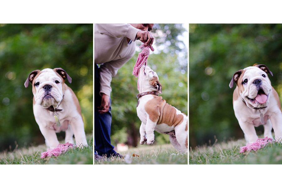 Marfa The Bulldog Puppy By The London Phodographer Bulldog
