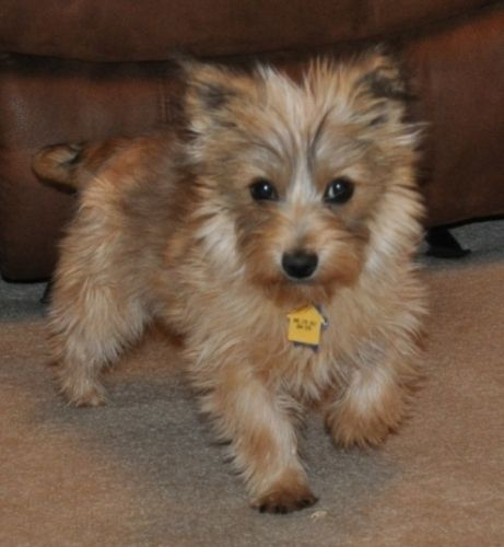 Adopt Jodie On Really Cute Dogs Cairn Terrier Puppies Cairn