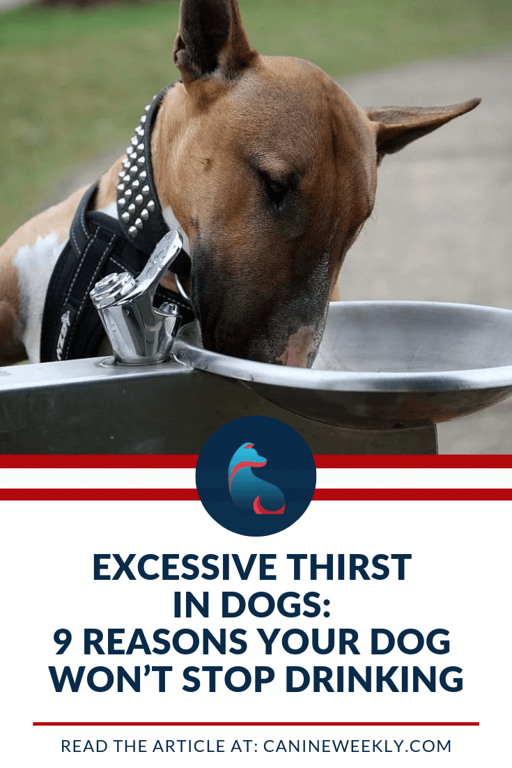 Exessive Thirst In Dogs 9 Reasons Your Dog Won T Stop Drinking Dog Care Tips Tortoise As Pets Dog Care