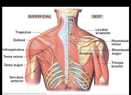 Upper Back Muscles Surface Anatpmy Google Search Massage