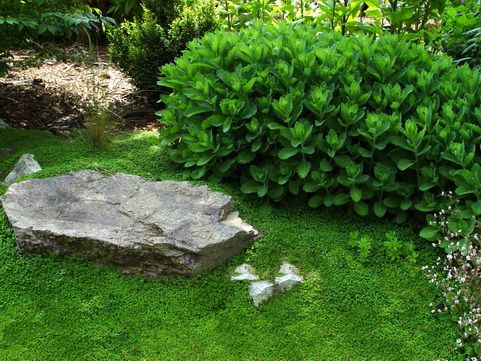 patio ground cover ideas: soleirolia soleirolii, baby's tears ... - Patio Ground Cover Ideas