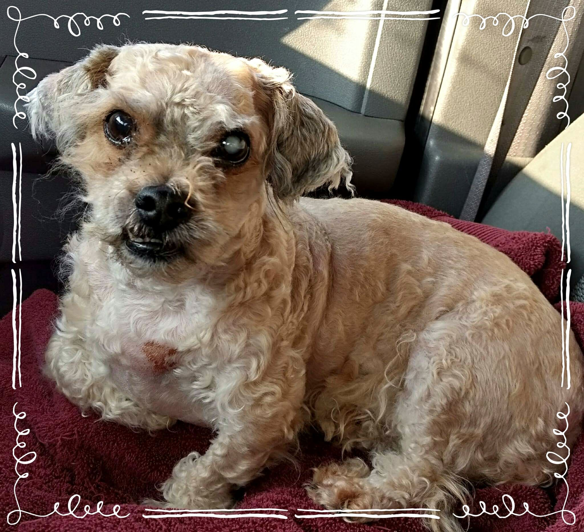 ShihPoo dog for Adoption in Akron, OH. ADN437248 on