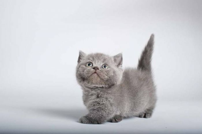 Napoleon Kittens Munchkin Kittens And Cats For Sale In Caledon