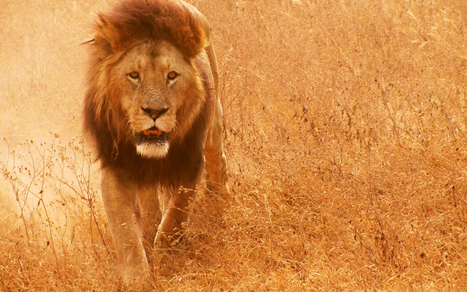 Best 25 Lion Hd Wallpaper Ideas On Pinterest: Pin By Khalilahmadkhan On Lion HD Wallpapers And