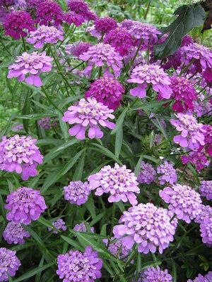 Annual Iberis Umbellata Candytuft Red Candy Cane Flower Seeds 50