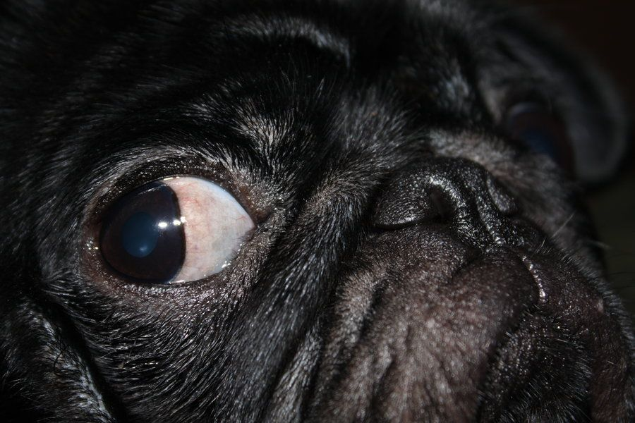 Those moments when your pugs eyeball gets in the way...