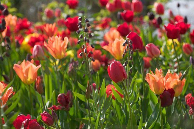tulipbal