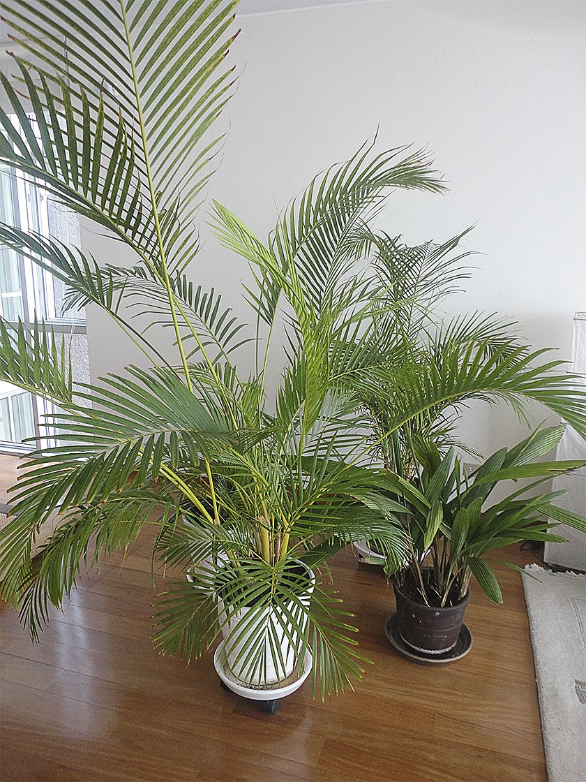 Palmera hawaiana chrysalidocarpus lutescens en maceta for Plantas de interior tipo palmera