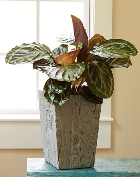 Calathea Has Lush Leaves Marked With Silver Red Purple Or Other Colors It S Perfect For Decorating A Drab Desk And Favorite Of Ours Here At