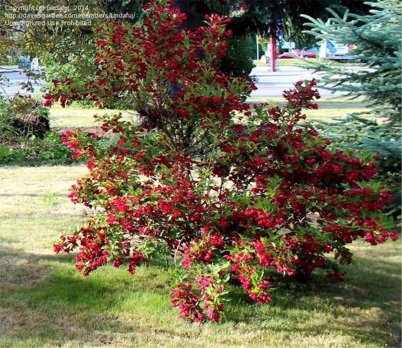 weigela 39 red prince 39 weigela florida bloomtime range late spring to late summer usda. Black Bedroom Furniture Sets. Home Design Ideas