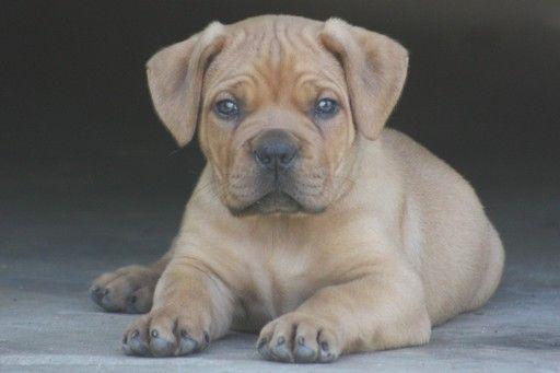 Boerboel Puppy For Sale In Atl Ga Adn 27855 On Puppyfinder Com