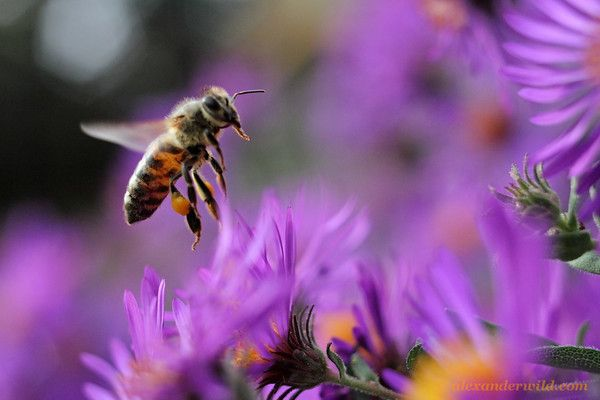 a honey bee forages among autumn asters