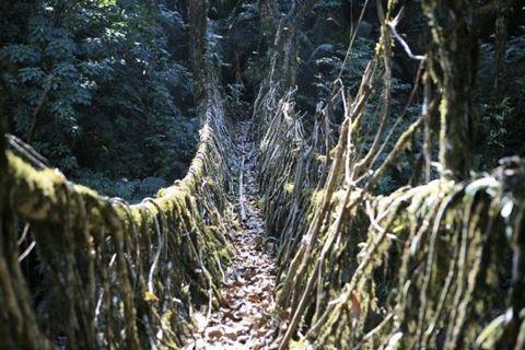 500 year old bridges in Meghalaya, India