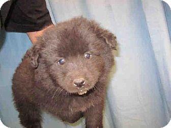 Garland Tx Chow Chow Mix Meet A187106 A Puppy For Adoption