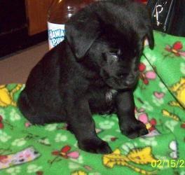 Adopt Tuscer On Black Labrador Retriever Labrador Retriever Dog Shepherd Dog Mix