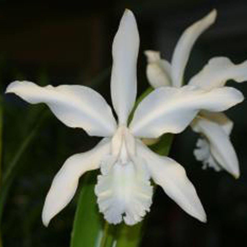 C Intermedia Alba Penn Valley Amaos 5 Pot Pinterest Orchid