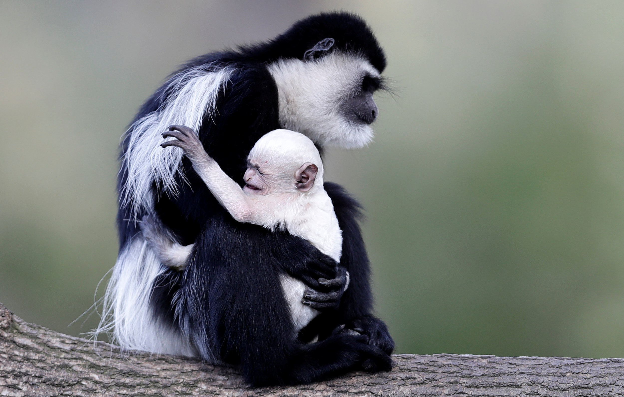 A Guereza Monkey Colobus Guereza Holds Her Newborn Baby At