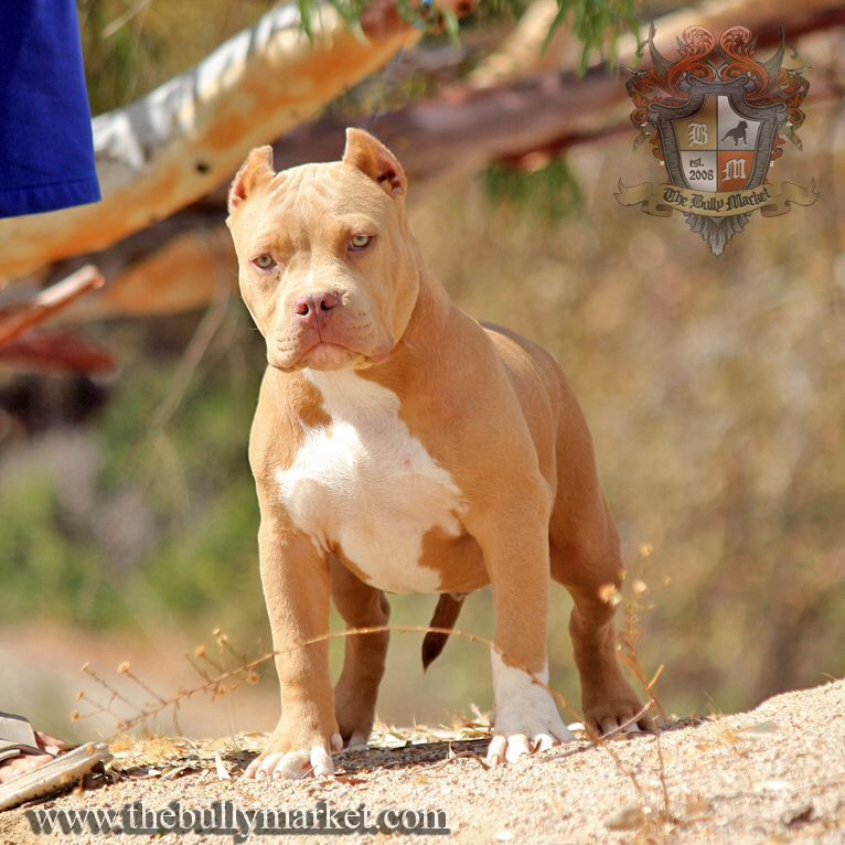 Beastro S Son Golden Boy At 5 Months Bully Dog Pitbull Puppies