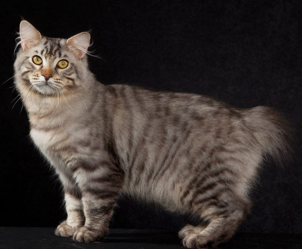 American Beauty Cats American Shorthair American Bobtail American Bobtail Cat American Bobtail Bobtail Cat