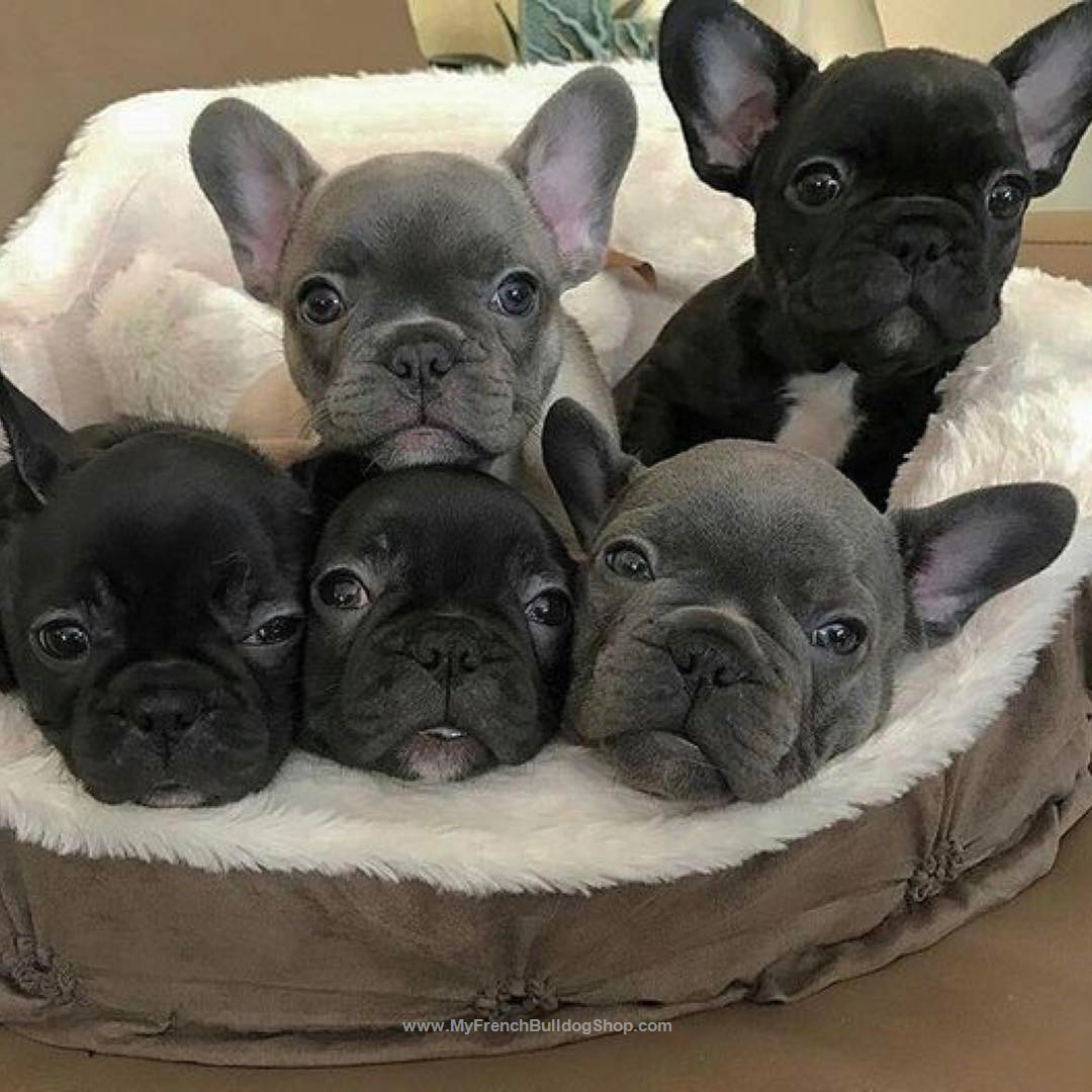 French Bulldog Puppies Perfect Pups