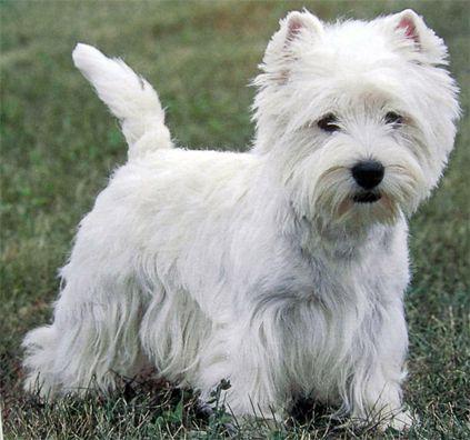 West Highland White Terrier Google Immagini Terrier Branco West Highland Terrier Caes Brancos