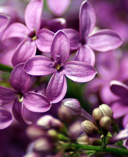 I Do Love This Flower Lilac Flowers Belong To Olive Family Their Usual Color Is Shade Of Purple A Light Purple Colo Lilac Flowers Lilac Lilac Gardening