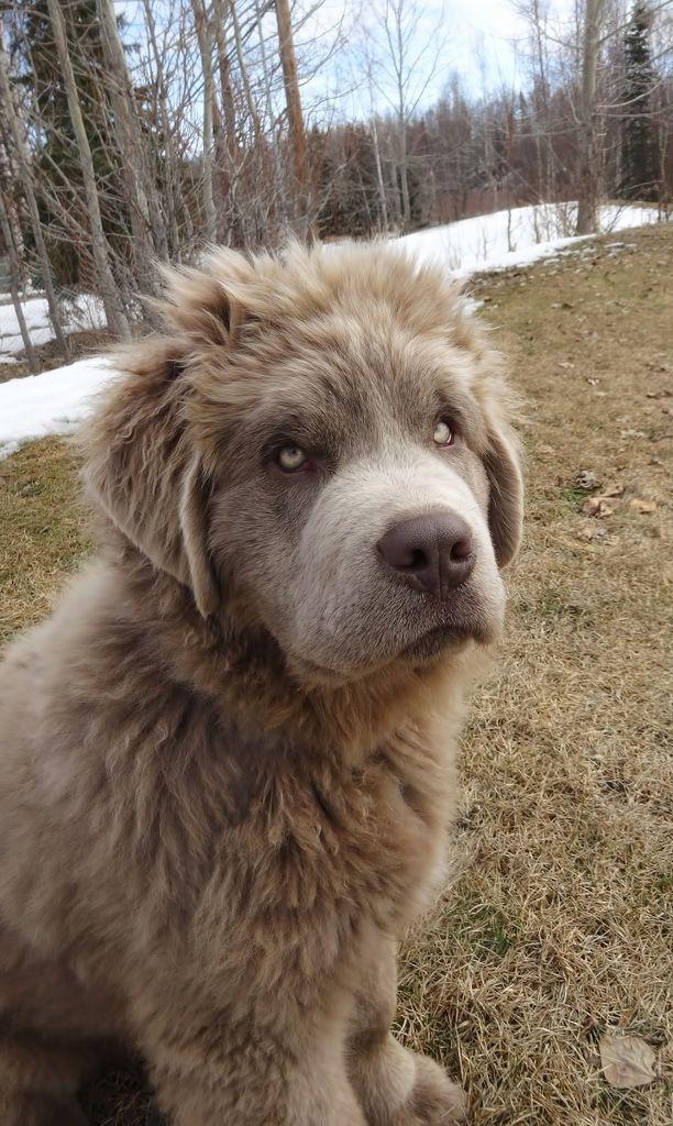 Rare grey coated Newfoundland dog.... Holy geezzzz!!!! I ...