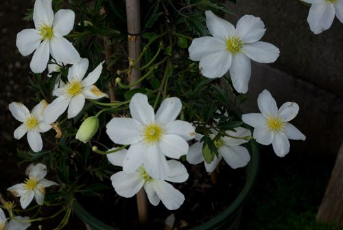 white clematis flowers google search flowers daisy
