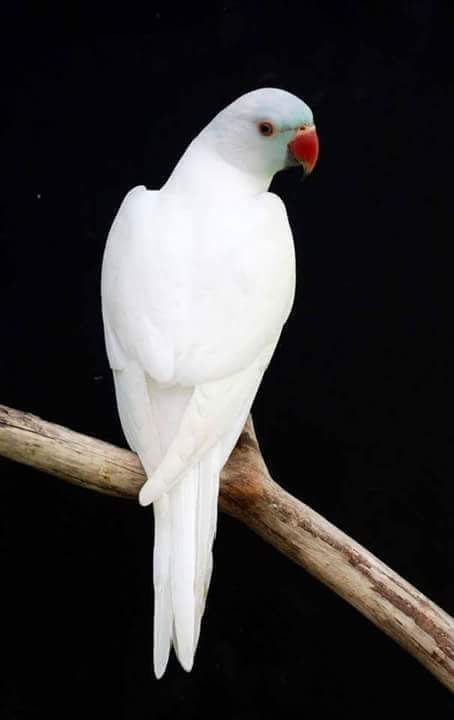 White Parrot Nature Birds Parrot Pet Birds