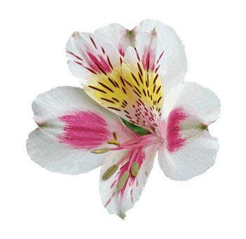 Buy Beautiful Bicolor White Pink Alstroemeria Flower Whole Blossoms Alstroemeria Wedding Flowers Alstroemeria Carnation Flower