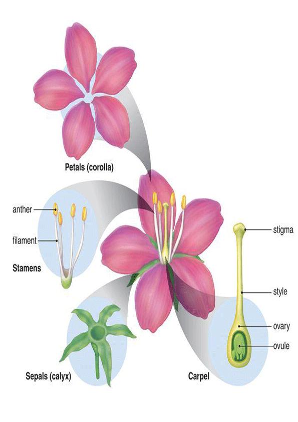 Partes de la flor en ingles para imprimirImagenes y dibujos para