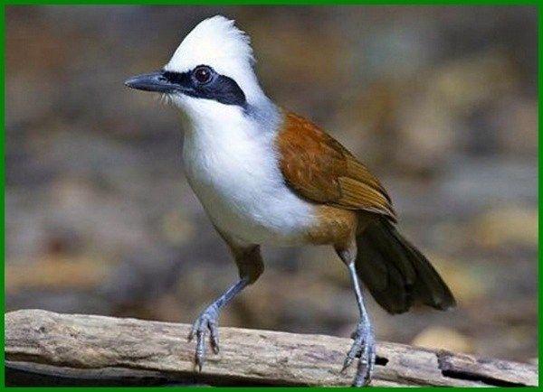 Jenis Burung Yang Dilindungi Beserta Gambarnya Daftarhewan Com