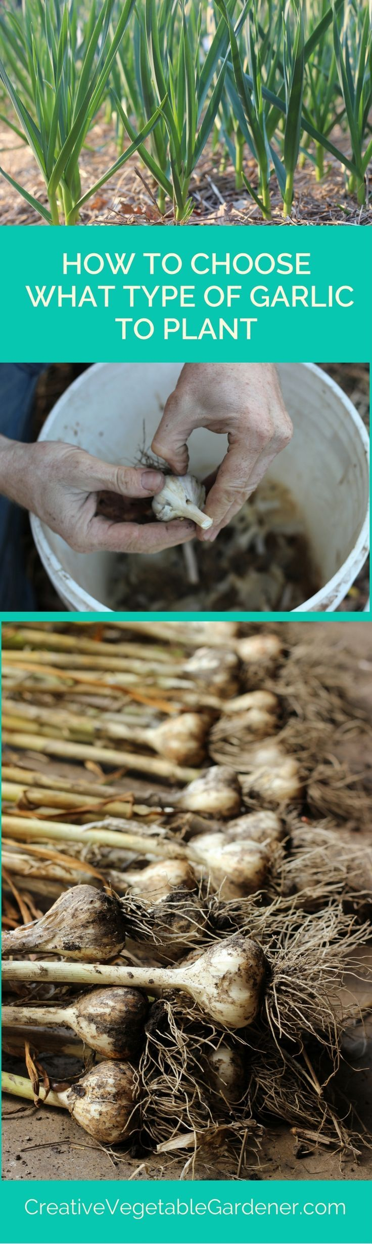 what kind of garlic should you plant garlic plants and gardens