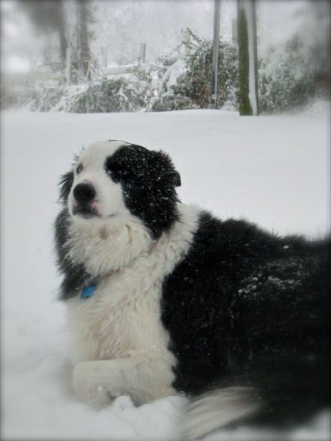 Border Collie. The greatest dogs on earth