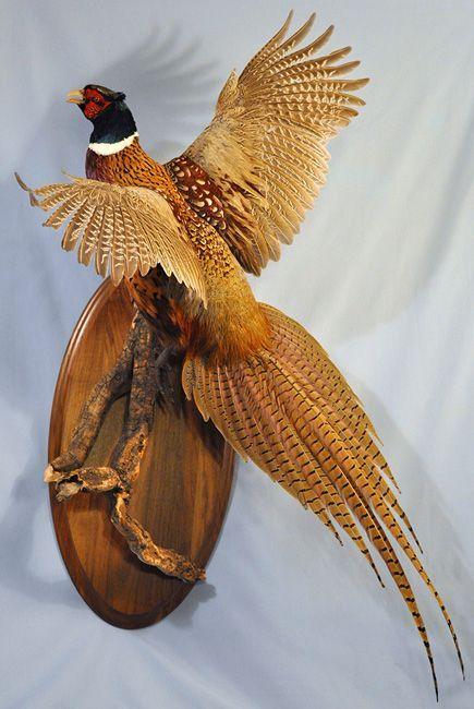 Pheasant Mount Google Search Taxidermia Faisan Animales Disecados