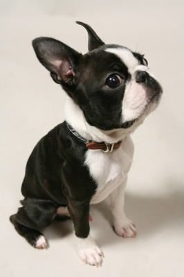 Pin By Tulip Oum Naksompop On Boston Terrier Dogs