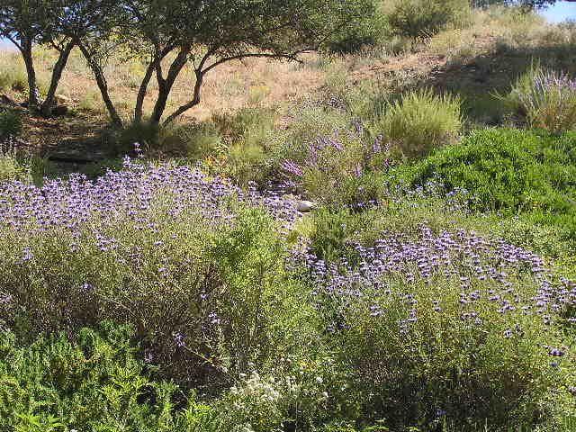 Southern California Native Plants   Southern California Gardening