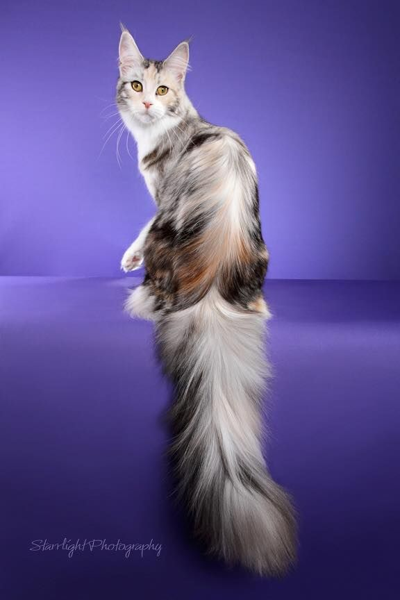 Pin On Cats Maine Coon