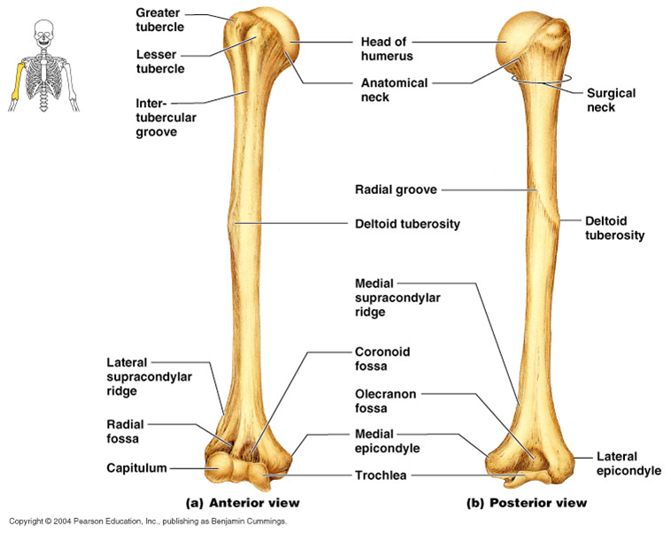What Is A Bone Marking Of The Humerus Google Search Anatomy