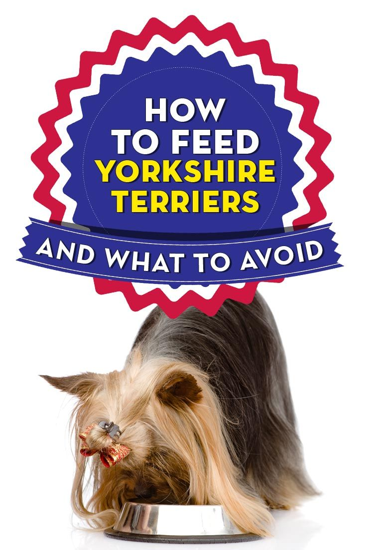 Best Dog Food For Yorkies How What To Feed Yorkshire Terriers