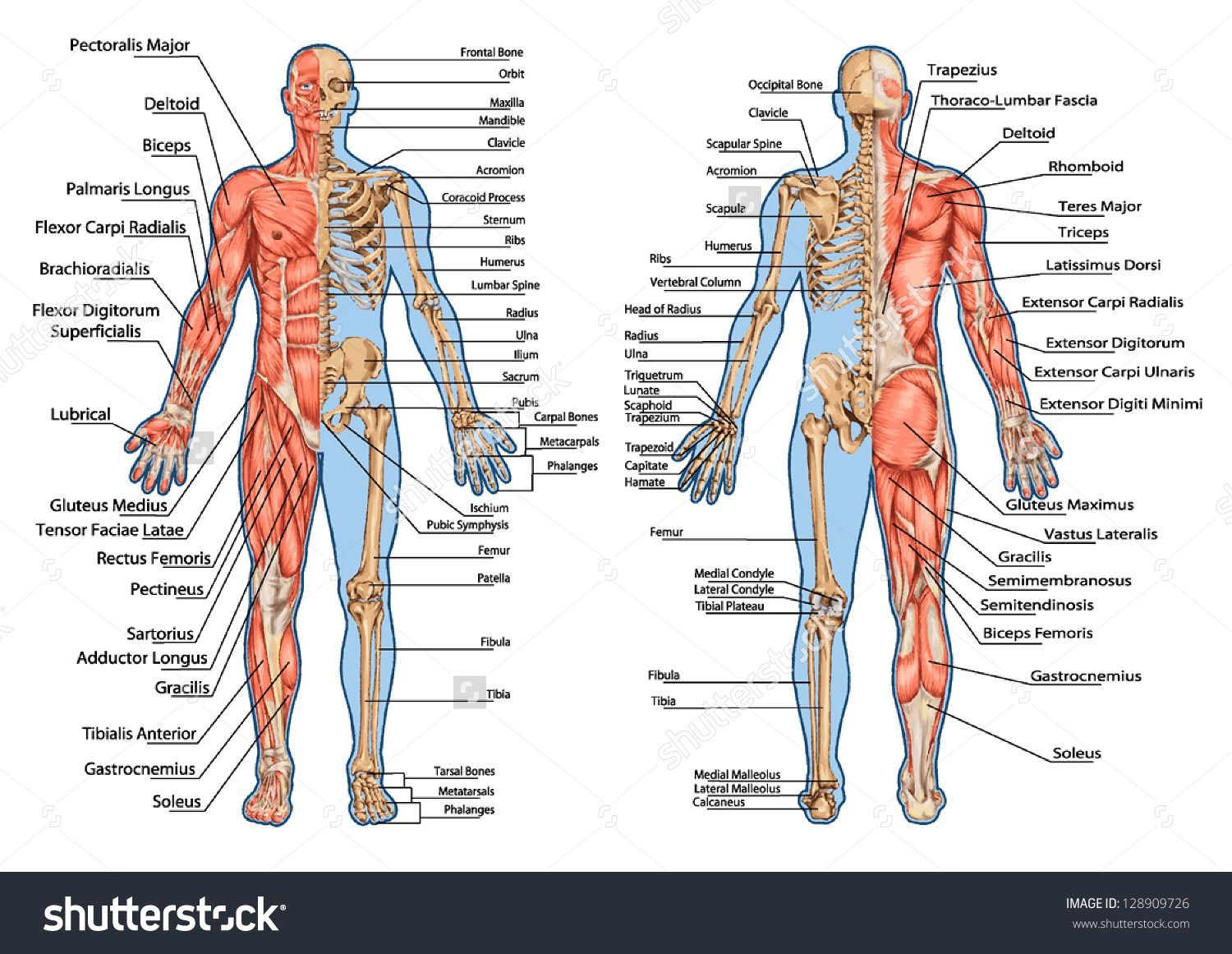 stock-vector-human-skeleton-from-the-posterior-and-anterior-view ...